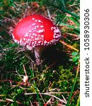 Small photo of Amanita muscaria. Mushroom red and white in the autumn forrest. Austria 2017