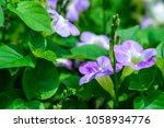 asystasia gangetica  ganges...   Shutterstock . vector #1058934776