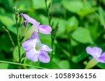 asystasia gangetica  ganges...   Shutterstock . vector #1058936156