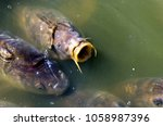 common carp opening the mouth... | Shutterstock . vector #1058987396
