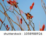 Small photo of Male Bullock's Oriole perches at dawn in a flowering Ocotillo at Organ Pipe Cactus National Monument in southern Arizona's Sonoran Desert