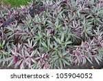 Purple Heart Ground Cover Plant