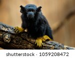 golden handed tamarin. tamarin... | Shutterstock . vector #1059208472
