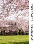 pink cherry trees in bloom in... | Shutterstock . vector #1059235268
