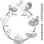 chicken life cycle. stages of... | Shutterstock .eps vector #1059264632