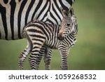 Close Up Of Baby Plains Zebra...
