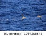 short tailed albatross ... | Shutterstock . vector #1059268646