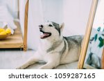 grey and white husky dog is... | Shutterstock . vector #1059287165