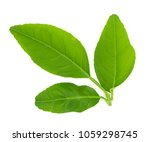 Small photo of close up of fresh organic green lemon leaves isolated on white background. put forth leave-buds