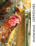 close up of brown hens feeding... | Shutterstock . vector #1059351482