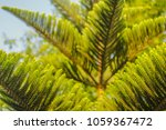 Small photo of texture of Abies grandis (grand fir, giant fir, lowland white fir, great silver fir) in layers from near to far