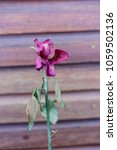 Small photo of wood wall with single pink rose already withered