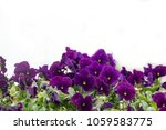 Purple Pansy Flowers  Isolated...