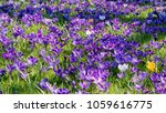 close up of beautiful lilac...   Shutterstock . vector #1059616775