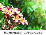pink frangipani flower or... | Shutterstock . vector #1059671168