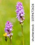 dactylorhiza majalis  western...   Shutterstock . vector #1059672626