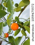 Small photo of Citrus tree Calamondin