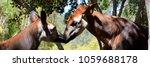 okapi   okapia johnstoni   also ... | Shutterstock . vector #1059688178