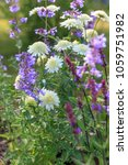 Small photo of Background or Texture of Salvia nemorosa 'Caradonna' Balkan Clary , Nepeta fassenii 'Six Hills Giant', chrysanthemum, carnation in a Country Cottage Garden in a romantic rustic style. Earth day.
