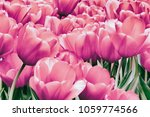group of picturesque pink... | Shutterstock . vector #1059774566