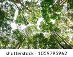 burmese ebony tree forest in... | Shutterstock . vector #1059795962
