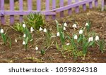 blooming uncultivated snowdrops ... | Shutterstock . vector #1059824318