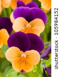 Yellow And Purple Violet Pansy...