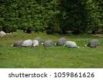 free guinea hen grazing in the... | Shutterstock . vector #1059861626