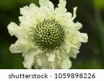 Small photo of Scabious Brittany Perennials Cephalaria alpina