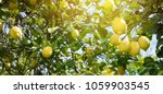 lemon garden  summer background | Shutterstock . vector #1059903545