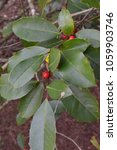 Small photo of American holly leaves and berries