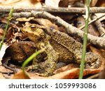 common toad  bufo bufo  | Shutterstock . vector #1059993086