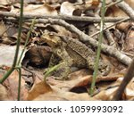 common toad  bufo bufo  | Shutterstock . vector #1059993092
