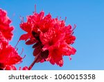 Rhododendron Hybrid Cultivar ...