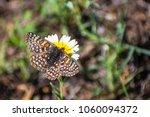 Bay checkerspot butterfly ...