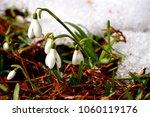 Snowdrop Flowers In Garden Bed