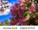 common lilac flower tree in...   Shutterstock . vector #1060131932