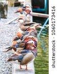Small photo of Colorful Water birds, Mandarin ducks or Aix galericulata