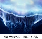 Aurelia Jelly Fish  Cnidaria ...