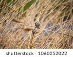 house sparrow among the reeds | Shutterstock . vector #1060252022