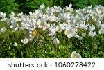 Anemone sylvestris  snowdrop...