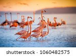 Pink Flamingos During A...