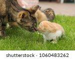 domestic cat playing otdoors ... | Shutterstock . vector #1060483262