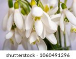 snowdrop flowers isolated on... | Shutterstock . vector #1060491296