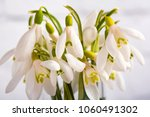 snowdrop flowers isolated on... | Shutterstock . vector #1060491302