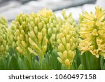 fresh yellow hyacinth spring...   Shutterstock . vector #1060497158