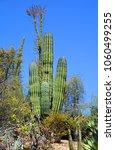 pachycereus pringlei  also... | Shutterstock . vector #1060499255