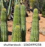 pachycereus pringlei  also... | Shutterstock . vector #1060499258