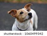 Stock photo dog jack russel 1060499342