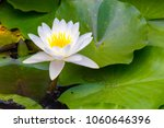 Water Lily Flower.background I...